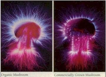 هاله های اطراف یک نوع قارچ که سمت راست بطور مصنوعی وسمت چپ بطور طبیعی رشد کرده